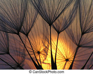 Dandelion seed with sun