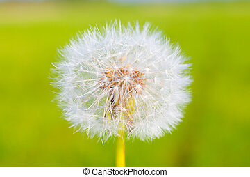 Dandelion seed with water drops