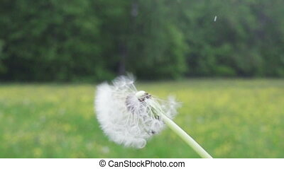 Dandelion seeds are being blown and flying away on a green...