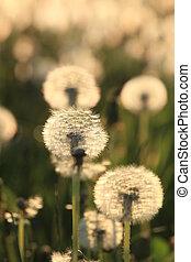 Dandelion Seeds Blowball - The dandelions blowballs are...