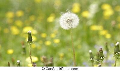Dandelion seeds blowing away