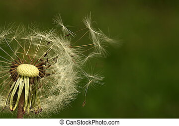 Dandelion seeds blowing away