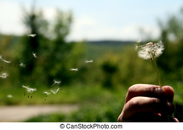 Dandelion seeds blowing in hand