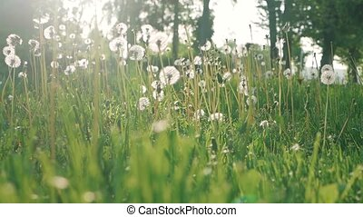 Dandelion seeds blown in the wind. Green Grass in Spring Park