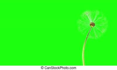Dandelion seeds fly away in the wind