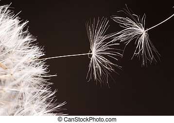 Dandelion seeds flying away - Seeds of dandelion are flying...