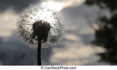 Dandelion seeds flying in the blue sky.