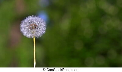Dandelion seeds flying on the green background.