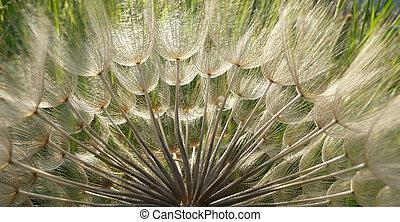 Dandelion Seeds in Backlit for banner