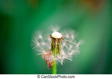 Dandelion seeds in the sunlight blowing