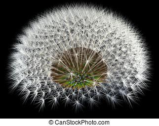 Dandelion Seeds on Black, 3d Generated Arrangement -...