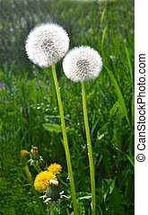 Dandelion seed's.