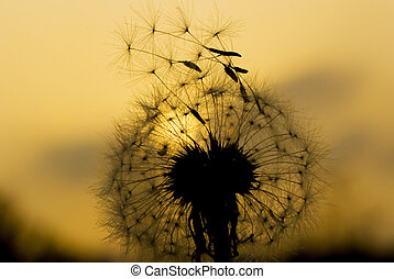 Dandelion seeds will fly