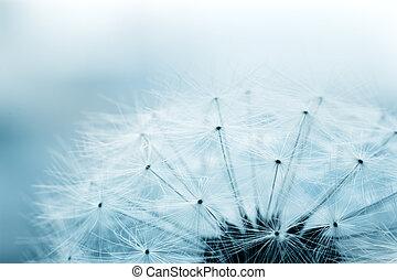 dandelion, sementes