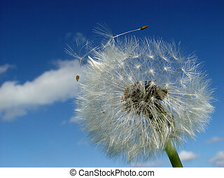 dandelion, sending out some seeds, in front of a sky with clouds