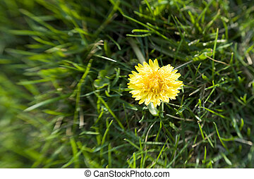 Dandelion - Single dandelion flower in the grass. Selective...