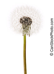dandelion close up shot with white background