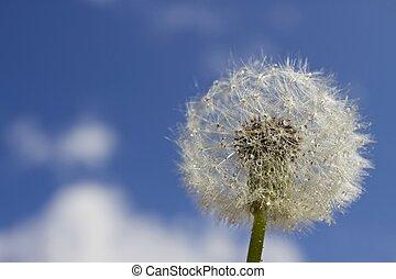dandelion in blue sky