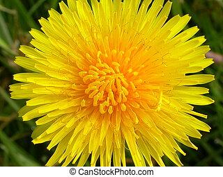 Dandelion - A beautiful picture of a dandelion flower, yet...