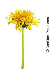 dandelion - object on white - yellow dandelion close up