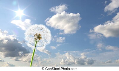 Dandelion, 3d animation against sky background (time-lapse)