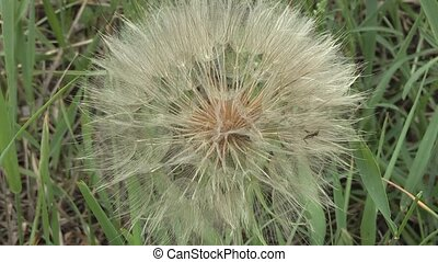 Dandelion - beautiful dandelion weed.