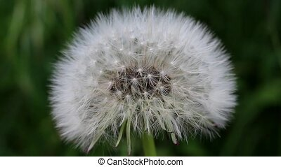Dandelion sways in the wind