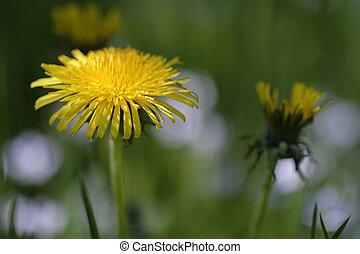 Dandelion - Taraxacum in a macro shot
