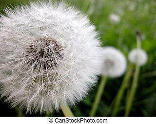 Dandelion, taraxacum officinale - Macro of dandelion in ...