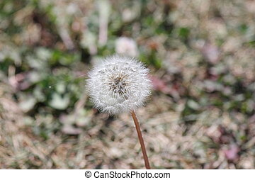Dandelion (Taraxacum) Seed Head