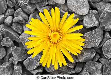 Dandelion - This image shows a dandelion with many stones in...