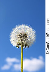Dandelion tuft - Fluffy dandelion seeds against blue sky...