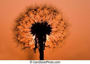 dandelion under sunset