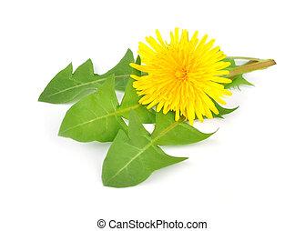 dandelion whit leafs