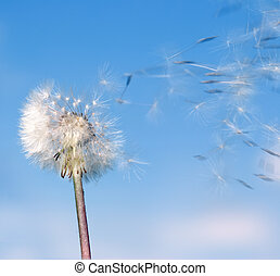 Dandelion wind - Dandelion. A spring flower on a background ...