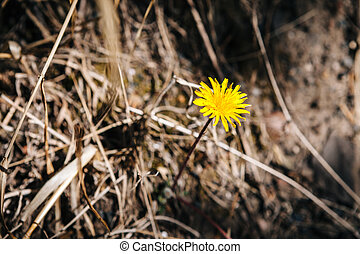 A dandelion with dry grass background, spring scene