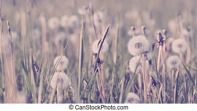 dandelion with seed on meadow in spring breeze