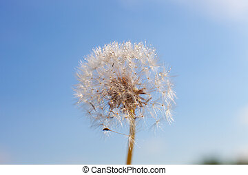 Dandelion with seeds flying in the wind.