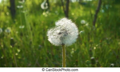 dandelion with seeds on the wind, slow motion