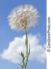 Dandelion with seeds over blue sky