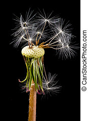 dandelion with the ripened seeds