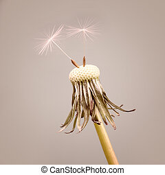 Dandelion with two seeds on a mauve background