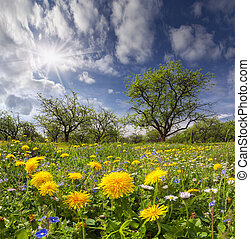 dandelions, зеленый, луг, солнечный лучик