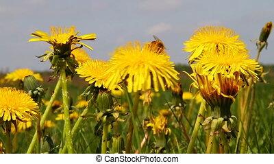 dandelions, луг