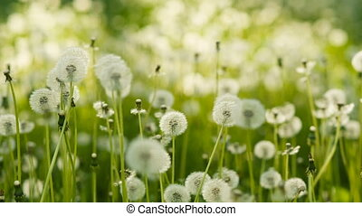 Dandelions at the meadow