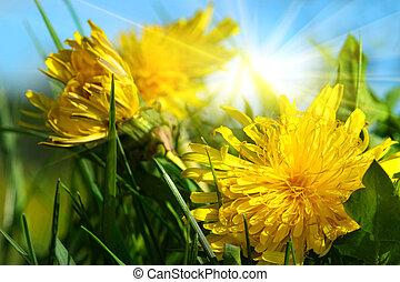 dandelions, em, a, capim, contra, um, céu azul