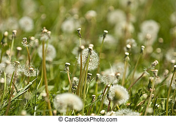dandelions field with blue sky
