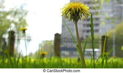 dandelions in city park