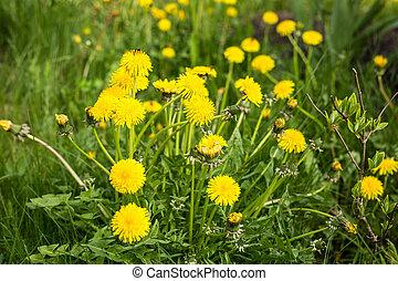 Dandelions in green grass.