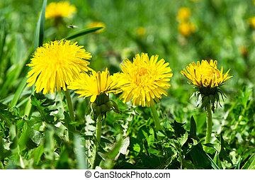 dandelions in green grass